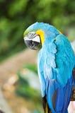 Błękitna i żółta ara Fotografia Royalty Free