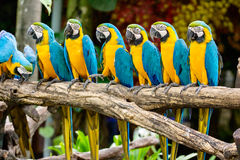 Błękitna i żółta ara Fotografia Stock