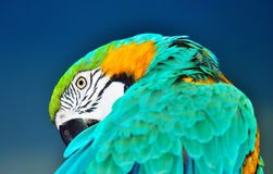Błękitna i żółta ara preening Obraz Stock