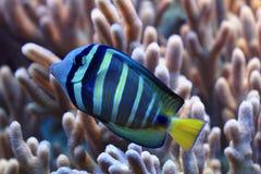 Błękitna i żółta egzot ryba Zdjęcie Stock