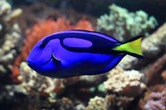 Błękitna i żółta egzot ryba Obraz Royalty Free