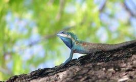 Błękitna iguana na drzewie w naturze zdjęcia royalty free