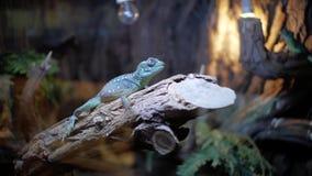 Błękitna iguana w terrarium zbiory