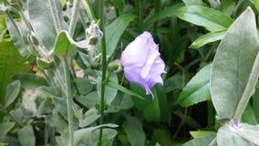 Błękitna kampanula - lato ogródu kwiaty Zdjęcia Stock