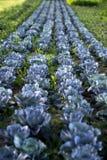 Błękitna kapusta na polu w lecie obrazy stock