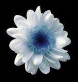 błękitna kwiat chryzantema Ogrodowy kwiat czerni odosobniony tło z ścinek ścieżką zbliżenie Żadny cienie Fotografia Stock