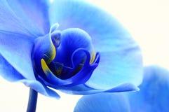 Błękitna kwiat orchidea Fotografia Royalty Free