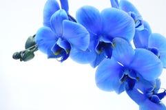 Błękitna kwiat orchidea Zdjęcie Royalty Free