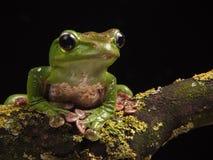 Błękitna latająca żaba Zdjęcia Stock