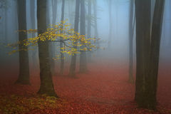 Błękitna mgła i drzewo z kolorów żółtych liśćmi w lesie Obraz Stock