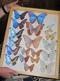 Błękitna Morpho motylia kolekcja, morpho didius, przedstawiający w ramie, Costa Rica Zdjęcia Stock
