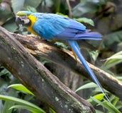 Błękitna papuga Zdjęcia Stock
