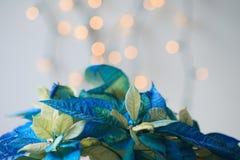 Błękitna poinsecja z błyskotliwością Zdjęcie Royalty Free