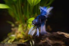 Błękitna przyrodniej księżyc boju Syjamska ryba w rybim zbiorniku Zdjęcie Stock
