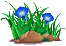 Błękitna ranek chwała w ogródzie royalty ilustracja