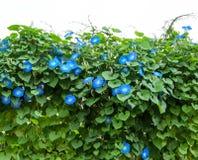 Błękitna ranek chwały kwiatu roślina zdjęcie stock
