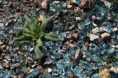 Błękitna szkło gwiazdy roślina Obrazy Stock
