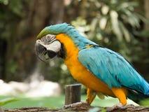 Błękitna Szkarłatna ara Fotografia Royalty Free