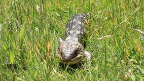 Błękitna Tounge jaszczurka Australia 2 zbiory