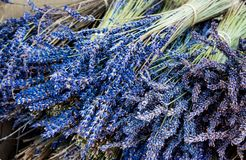 Błękitna wiązka lawenda Lavandula Aromatyczny i Wypachniony jesień kwiat dla dużo Zamierza fotografia royalty free