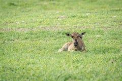 Błękitna wildebeest łydka kłaść w trawie zdjęcia royalty free