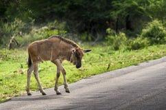 Błękitna Wildebeest łydka krzyżuje drogę Zdjęcie Royalty Free