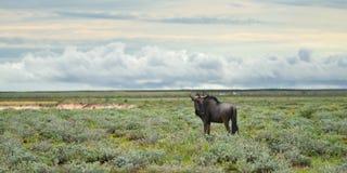 Błękitna wildebeest antylopa, Afryka Zdjęcia Royalty Free