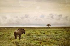 Błękitna wildebeest antylopa, Afryka Obraz Royalty Free