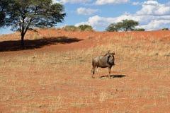Błękitna wildebeest antylopa w Kalahari, Afryka Zdjęcie Royalty Free