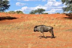 Błękitna wildebeest antylopa w Kalahari, Afryka Zdjęcia Royalty Free