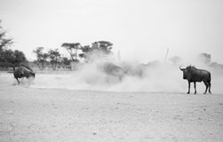 Błękitna wildebeest walka fotografia stock