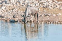 Błękitna wildebeest woda pitna przy waterhole Fotografia Stock