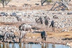 Błękitna wildebeest woda pitna przy waterhole w Północnym Namibi Zdjęcia Stock