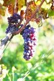 Błękitna winogrono fotografia Fotografia Royalty Free