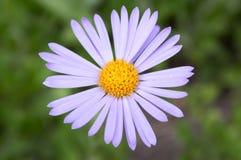 Błękitnawy aster, asteru tongolensis w kwiacie obraz royalty free