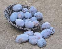 Błękitne śliwki na ziemi Fotografia Royalty Free