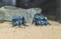 Błękitne Śmiertelne Feigning ścigi Asbolus Verrucosus zdjęcie royalty free