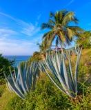 Błękitne agaw rośliny, Mexico Zdjęcia Royalty Free