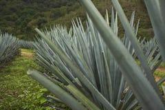 Błękitne agaw rośliny na gospodarstwie rolnym Zdjęcie Royalty Free