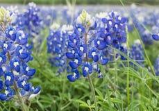 Błękitne czapeczki Teksas zdjęcia royalty free