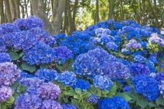 Błękitne hortensje i płascy drzewa fotografia stock