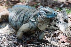 Błękitne iguana kajmanu wyspy Zdjęcia Royalty Free