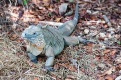 Błękitne iguana kajmanu wyspy Zdjęcie Stock