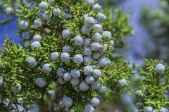 Błękitne Jałowcowe jagody fotografia stock