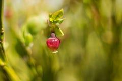 Błękitne Jagodowe owoc, Maramures natury Halny park, Rumunia zdjęcia royalty free