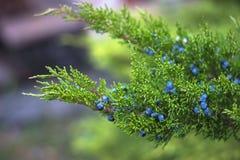 błękitne jagody plentifully kropią Obraz Royalty Free