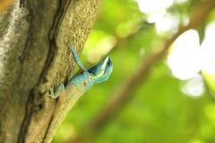 Błękitne jaszczurki wspinają się na drzewach obrazy royalty free