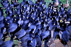 Błękitne kaczki obraz stock