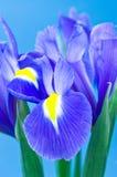 błękitne kwiaty Zdjęcia Stock