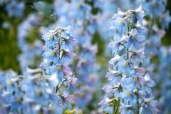 błękitne kwiaty Zdjęcia Royalty Free